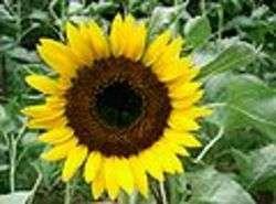 genomica dei fiori