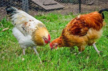 fondi europei settore avicolo