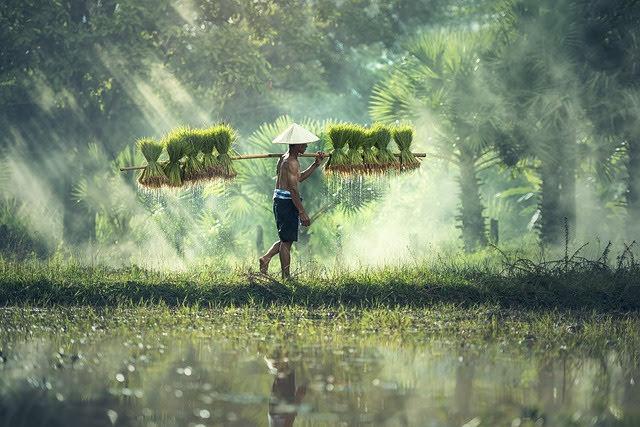 Riso Cambogia e Myanmar