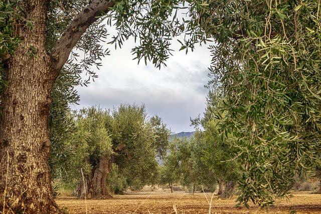 Ulivi - Photo credit: Foto di enriquelopezgarre da Pixabay